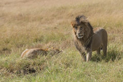 East African Lions (Panthera leo nubica). Mature male lion standing close to resting lioness, Masai Mara National reserve, Kenya, Africa Royalty Free Stock Images