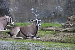 East African Oryx,Oryx beisa Stock Photos