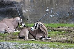 East African Oryx,Oryx beisa Stock Images