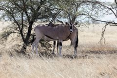 East African oryx Oryx beisa. Or Beisa, in the Awash National Park in Ethiopia royalty free stock image