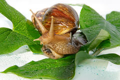 The East African snail. Close up Stock Photo