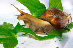 The East African snail. Close up Royalty Free Stock Photos