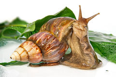 The East African snail Royalty Free Stock Photos