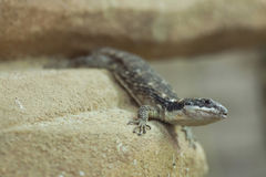 East African spiny-tailed lizard (Cordylus tropidosternum) Royalty Free Stock Images