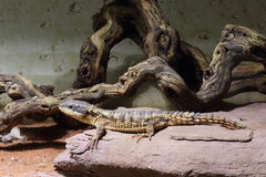 East African spiny-tailed lizard Stock Image