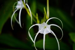 White spider flower blossoming with long hand flowers royalty free stock photo