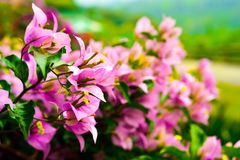 Pink color flower blossoming with long beautiful flower royalty free stock image
