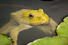East asian bullfrog. A frog hiding under the leaves of the lotus in the pond stock images