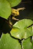 East asian bullfrog Stock Photos