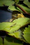 East asian bullfrog Stock Images