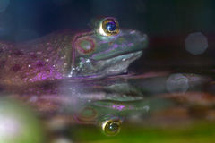 East Asian bullfrog, Kuala Lumpur, Malaysia Stock Photo