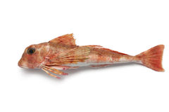 East atlantic tub gurnard Royalty Free Stock Photos