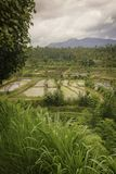 East Bali Rice Fields. Royalty Free Stock Photos