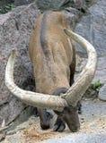 East caucasian tur 1. East caucasian tur male. Latin name - Capra cylindricornis Royalty Free Stock Image