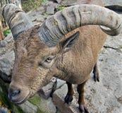 East caucasian tur 2. East caucasian tur male. Latin name - Capra cylindricornis Stock Image