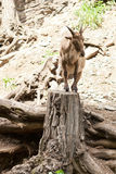 East caucasian tur. In prague zoo. picture was taken on MAY 2011 Royalty Free Stock Image