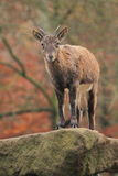 East caucasian tur. The juvenile of east caucasian tur standing on the rock Stock Photography