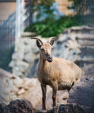 The east Caucasian tur (Capra cylindricornis). Is a mountain dwelling goat Royalty Free Stock Images
