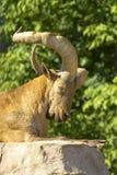 East Caucasian tur. Latin name Carpa cylindricornis, sitting on stone, half body Royalty Free Stock Photo