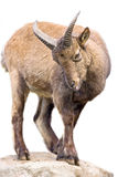 East Caucasian tur. Photo horned mountain goats in the zoo cage Stock Image