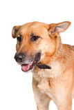 The East-european dog on white Royalty Free Stock Photos