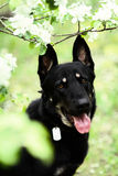East European Shepherd with an address tag on its neck. In spring apple blossom Stock Photography