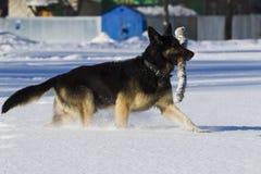 East European Shepherd Stock Photos