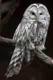 East European Ural owl Strix uralensis uralensis royalty free stock image