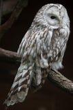 East European Ural owl Strix uralensis uralensis.  stock photography