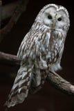 East European Ural owl Strix uralensis uralensis.  stock image