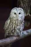 East European Ural owl Strix uralensis uralensis stock photos