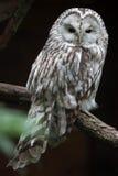 East European Ural owl Strix uralensis uralensis.  royalty free stock image