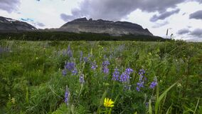 Free East Flattop Mt And Purple Lupin Flowers At Glacier National Park Stock Image - 169439691