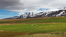 East Iceland landscape with sheep Royalty Free Stock Images