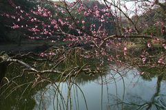 East Lake Plum Garden. Three facing water, loop scattered, self-contained, Jinsong set off around xiuzhu. Here picturesque scenery, beautiful scenery. In early royalty free stock photography
