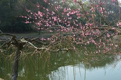 East Lake Plum Garden. Three facing water, loop scattered, self-contained, Jinsong set off around xiuzhu. Here picturesque scenery, beautiful scenery. In early royalty free stock image