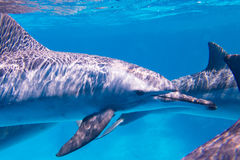 East Pacific dolphins in the Red Sea Royalty Free Stock Image