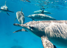 East Pacific dolphins in the Red Sea Stock Images