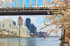 East River, Manhattan och Queensborough bro under den körsbärsröda blomningen royaltyfri fotografi