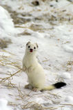 East siberian ermine in the winter. Royalty Free Stock Photos