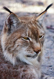 East Siberian lynx. Royalty Free Stock Photography