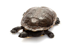 East snake-necked turtle Stock Image