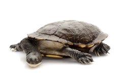 East snake-necked turtle Stock Photos