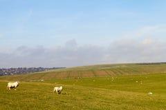 East Sussex landscape. Sheeps in East Sussex landscape, England Stock Images