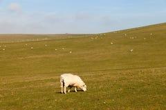 East Sussex landscape. Sheeps in East Sussex landscape, England Royalty Free Stock Images