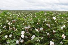 East Texas Cotton 2018. 2018 Cotton Fields of East Texas. Field full of cotton soon ready to harvest stock photography