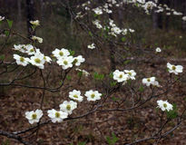East Texas Dogwood. Dogwood tree branches full of white flowers during the spring season in the Sam Houston National Forest of Texas Royalty Free Stock Photography