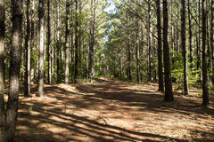 East Texas Forest. Walking in the woods of East Texas royalty free stock image