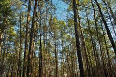 East Texas Pine Plantation Stock Photo