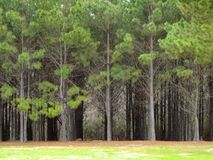 East Texas Trees Royalty Free Stock Images